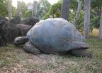 Ogromny gatunek żółwi żyjących na Mauritiusie - wczasy, urlopy, wakacje